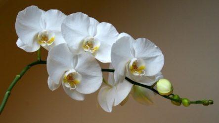 Живая вода для орхидей