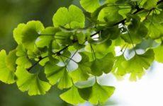 Гинкго Билоба: полезные свойства и противопоказания